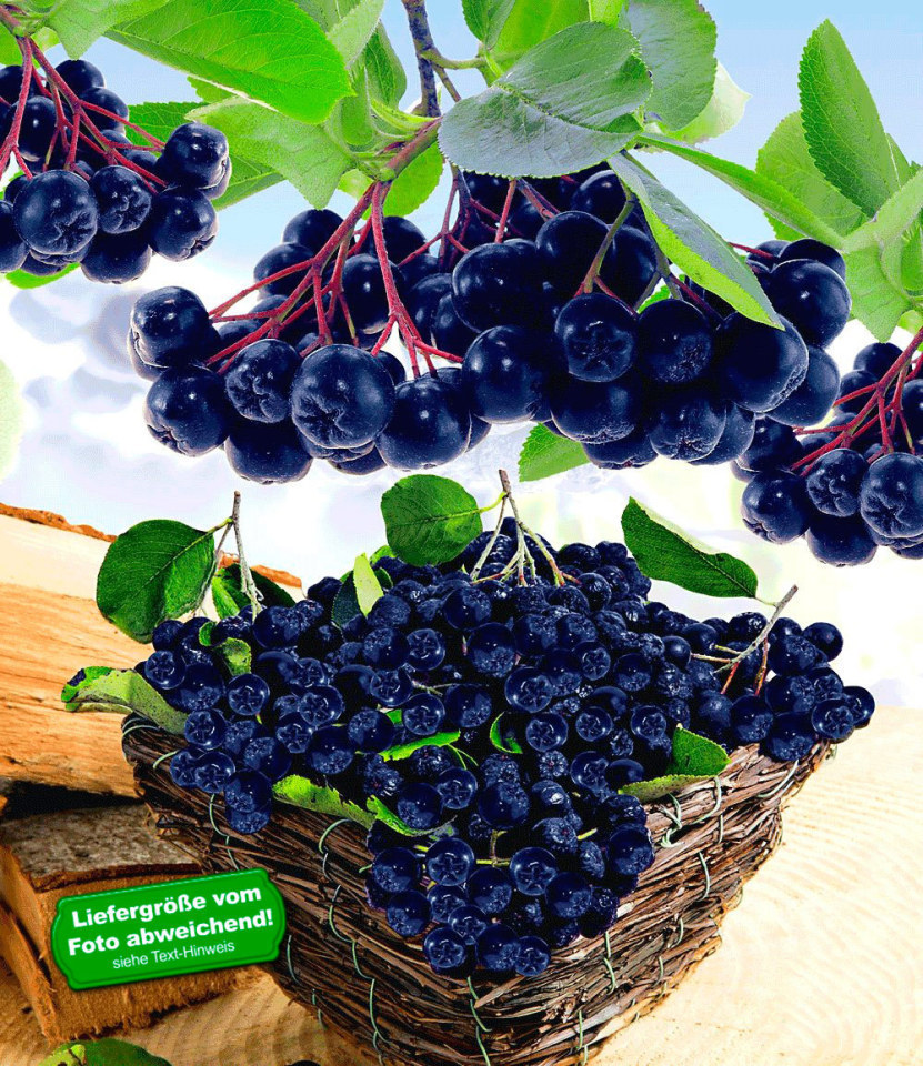 vitaminbeere apfelbeere aronia viking 1 pflanze aronia melanocarpa ebay. Black Bedroom Furniture Sets. Home Design Ideas