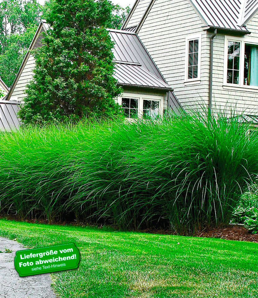 chinaschilf eulalia chinagras 3 pflanzen miscanthus sinensis gracillimus ebay. Black Bedroom Furniture Sets. Home Design Ideas