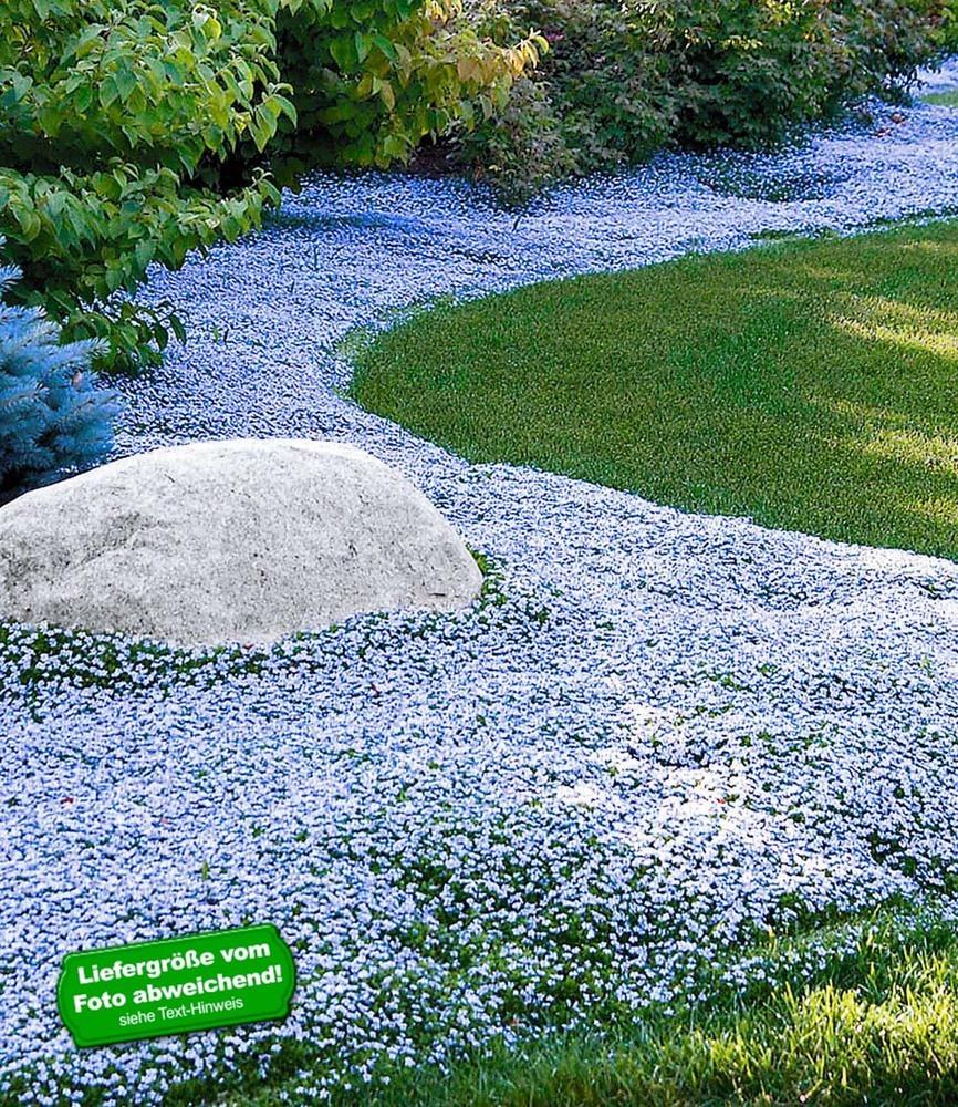 winterharter bodendecker isotoma 39 blue foot 39 3 pflanzen ebay. Black Bedroom Furniture Sets. Home Design Ideas