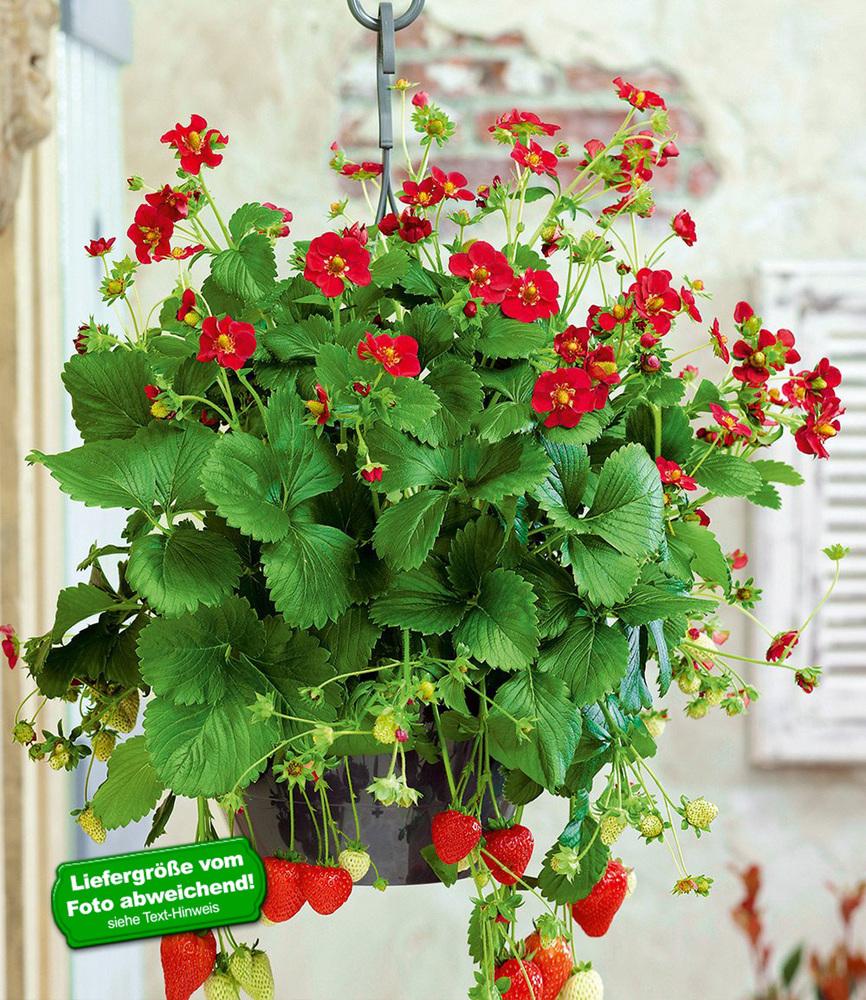 balkon erdbeere ruby ann f1 3 pflanzen ebay. Black Bedroom Furniture Sets. Home Design Ideas