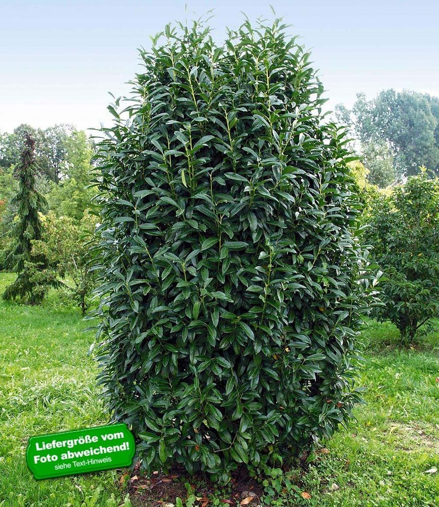 s ulen kirschlorbeer genolia 10 pflanzen prunus laurocerasus heckenpflanzen ebay