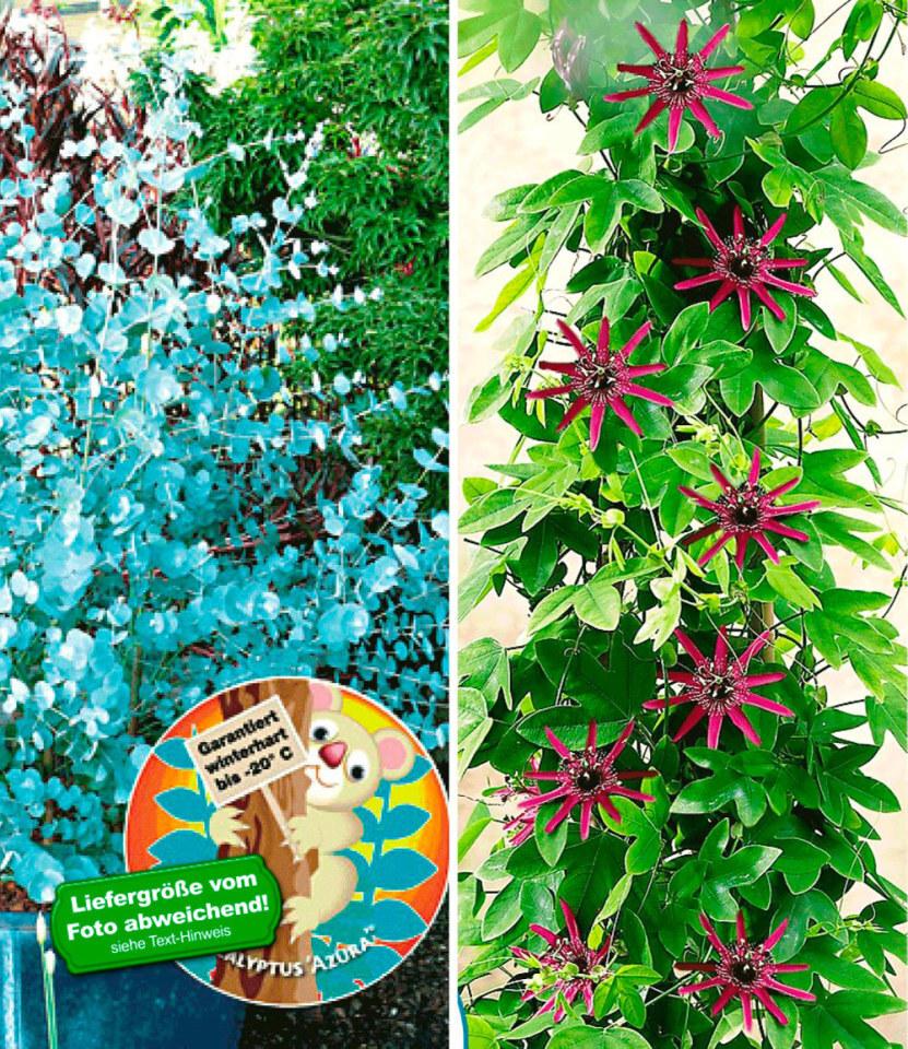 winterharter eukalyptus winterharte passionsblume 2 pflanzen ebay. Black Bedroom Furniture Sets. Home Design Ideas
